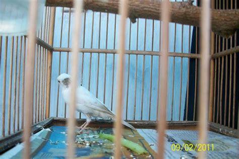 Salep Cap 88 kaki bengkak kenari trend burung