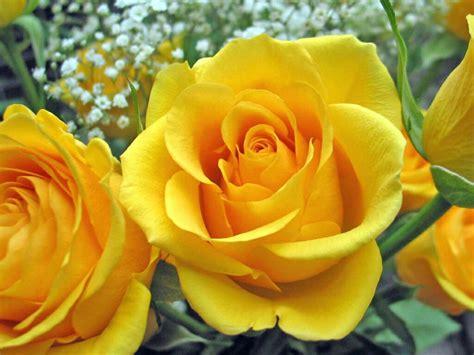 Wallpaper Desktop Rose Flowers | flowers for flower lovers rose flower desktop wallpapers