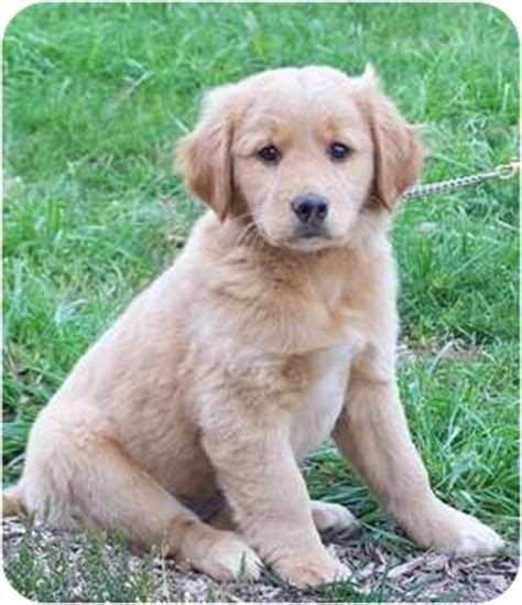 golden retriever rescue ns buffy adopted puppy milford nj scotia duck tolling retriever golden