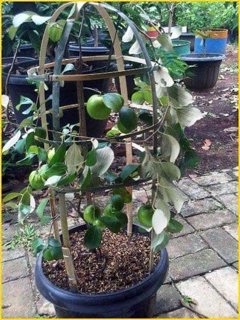 Jual Bibit Arwana Malang budidaya apel dataran rendah bibit