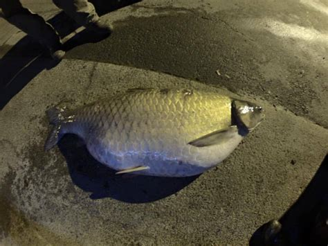 Records In Alabama New Bowfishing World Record Grass Carp In Alabama Pics