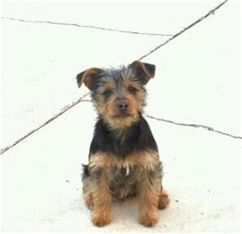min pin yorkie mix zola my yorkie min pin mix doggie days