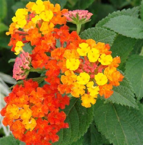 Jual Bibit Bunga Lantana tanaman tembelekan orange orange lantana jual tanaman