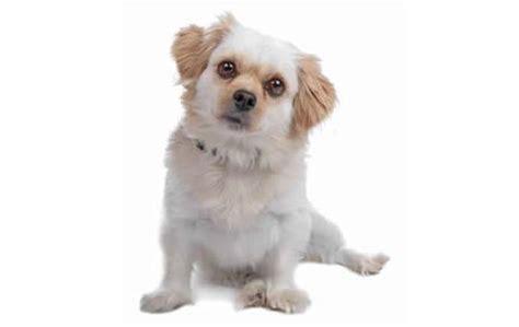 shih tzu bark a lot apartment dogs who don t bark a lot dogtime