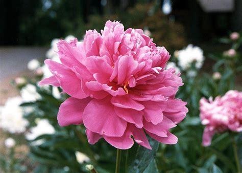 fiore peonia fiori peonia fiori di piante