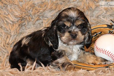 spaniel puppies for sale near me cocker spaniel puppy for sale near dallas fort worth b1588d2e 67d1