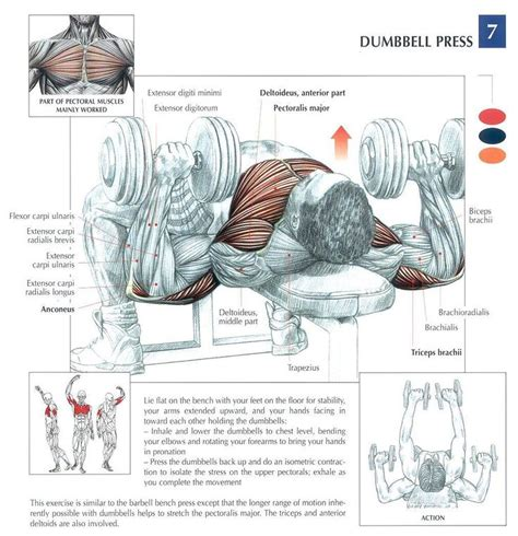 dumbbell press workout chest physique