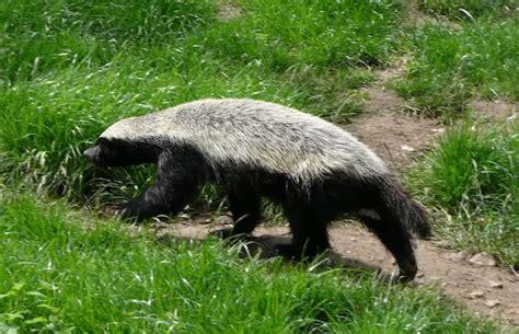 facts  convince   honey badger  natures  badass creature toptenznet