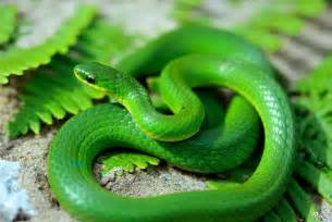 snake colors smooth green snake it may look artificial but they