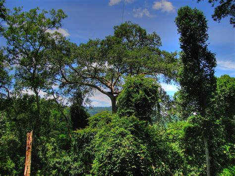 Forest Canopy Panoramio Photo Of Rainforest Canopy