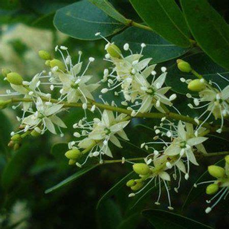 Balsam Cap Lang 20g copaiba essential copaifera marterii florihana