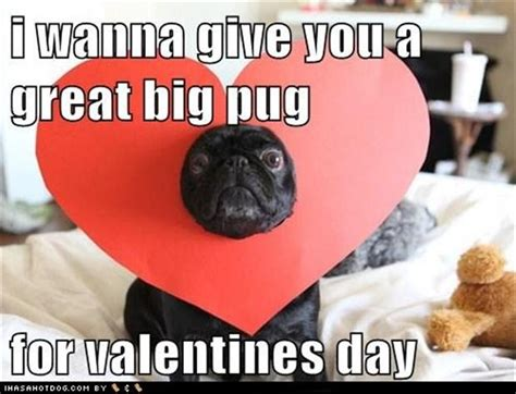 Cute Valentines Day Memes - funny pug dog pictures 35 pics