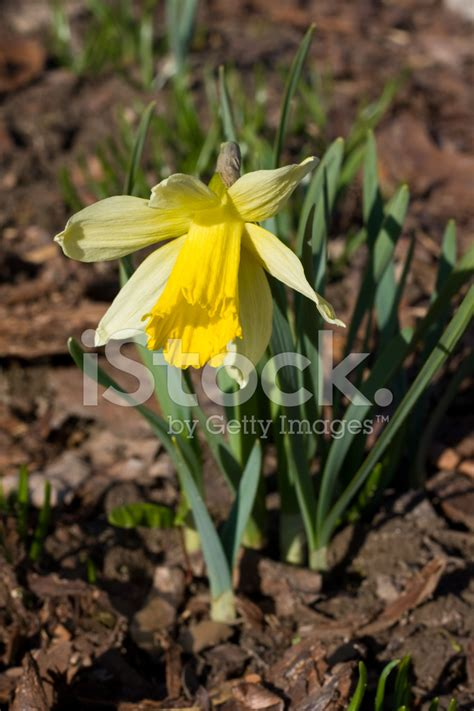 daffodil yellow narcissus daffodil yellow stock photos freeimages