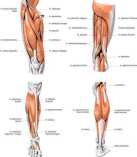 schmerzen in den beinen beim liegen beinmuskeln anatomie und 220 bungen f 252 r muskelaufbau