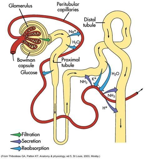 diagram of a nephron secretion junglekey fr image 150