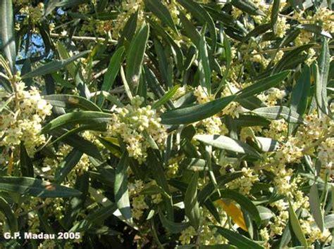 fiore olivo olivo fiori