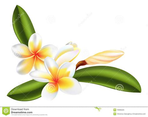 frangipani or plumeria flower royalty free stock photo