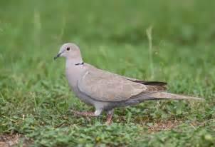 eurasian collared dove audubon field guide