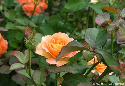 Was Hilft Gegen Rosenrost by Was Hilft Gegen Rosenkrankheiten Garten Hausxxl