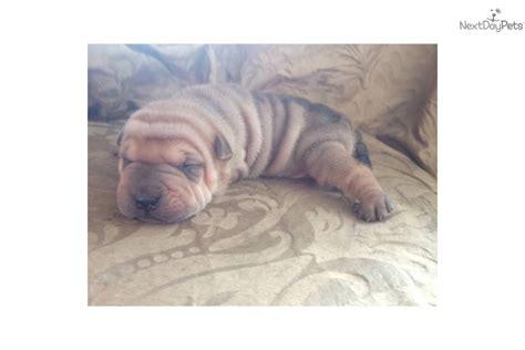 mini shar pei puppies for sale miniature shar pei puppies for sale breeds picture