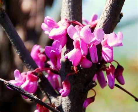 alberi con fiori rosa il mondo in un giardino l albero dalle foglie a cuore e