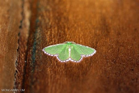 moths of costa rica s rainforest books green moth