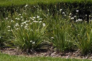African iris dietes iridioides plants2you com