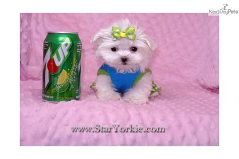 cheap teacup puppies white maltese puppies for sale dogsnow hairstylegalleries