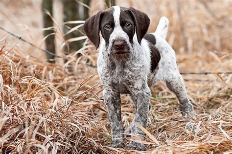 how to gun dogs small breeds a z breeds mexican breeds gun breeds picture