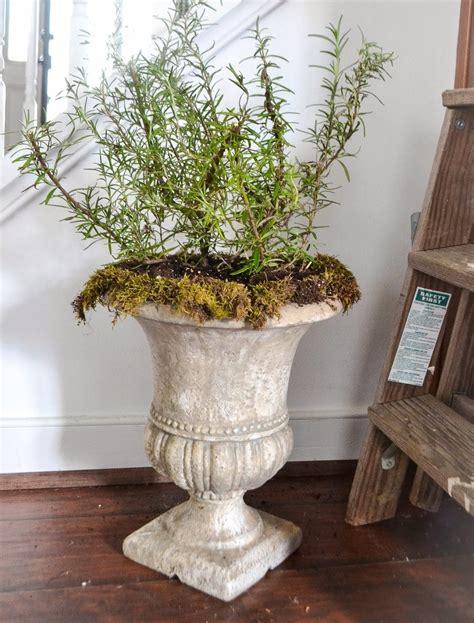 coltivare rosmarino in vaso rosmarino in vaso aromatiche rosmarino coltivato in vaso