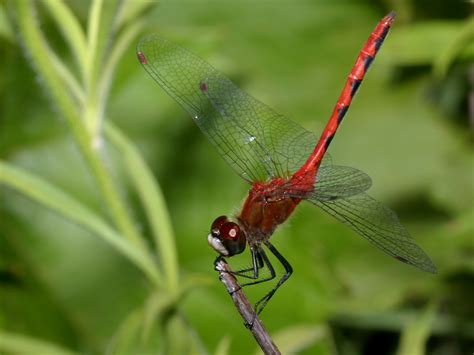 images of dragonflies dragonfly images www imgkid the image kid has it
