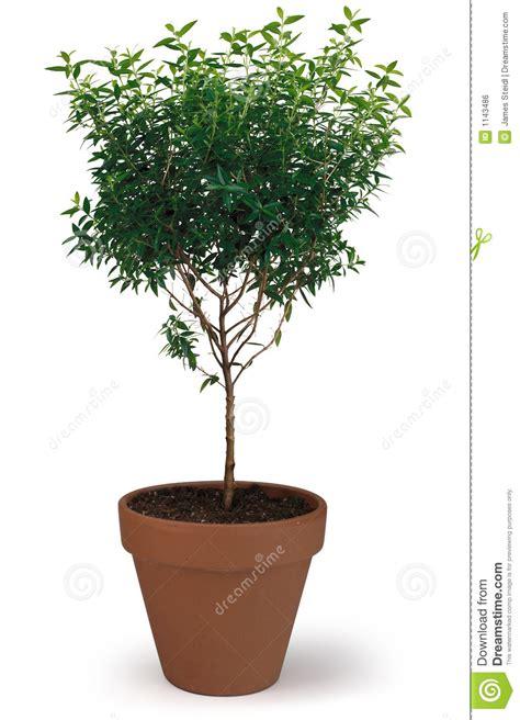 albero in vaso albero conservato in vaso immagine stock libera da diritti