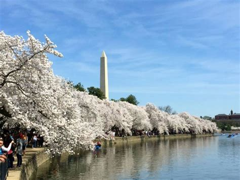 d c cherry blossom 2016 peak bloom dates moved up patch