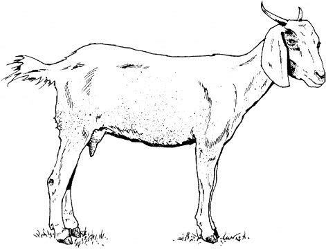Goats Goat Art And Baby Goats On Pinterest Pig Coloring Pages Http Www Supercoloring