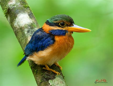 bird s south east asia birds malaysia birds paradise rufous