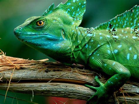 animals green basilisk lizarddesktop wallpaper full screen  wallpaperscom