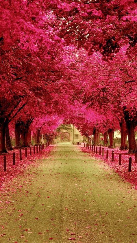wallpaper pink trees pink trees walkway wallpaper free iphone wallpapers