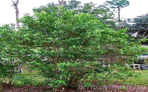 Wholesale Trees - wholesale trees naples