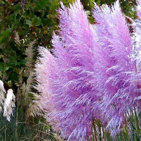 500pcs rare purple pas grass seeds ornamental plant
