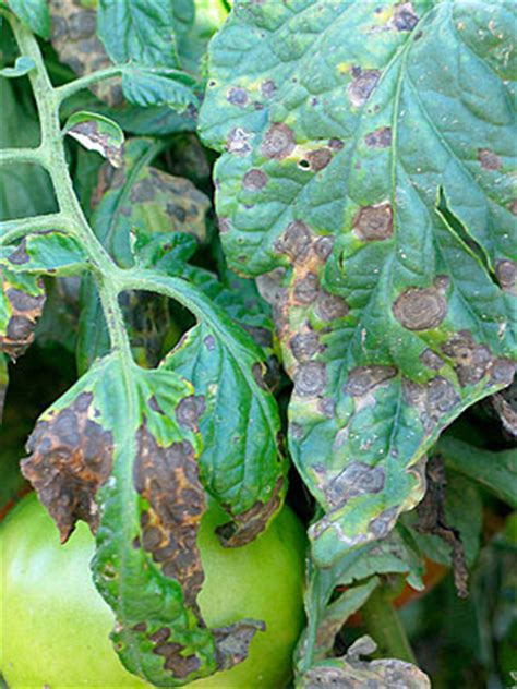 tomato diseases  solutions gardeners supply