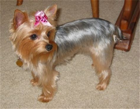 silky terrier with haircut yorkie cuts for short haired silky puppy cut silky