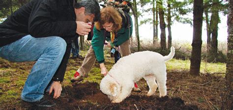 how to your to hunt truffles truffle with dogs modern magazine