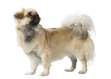 Intelligent Apartment Dogs Tibetan Spaniel