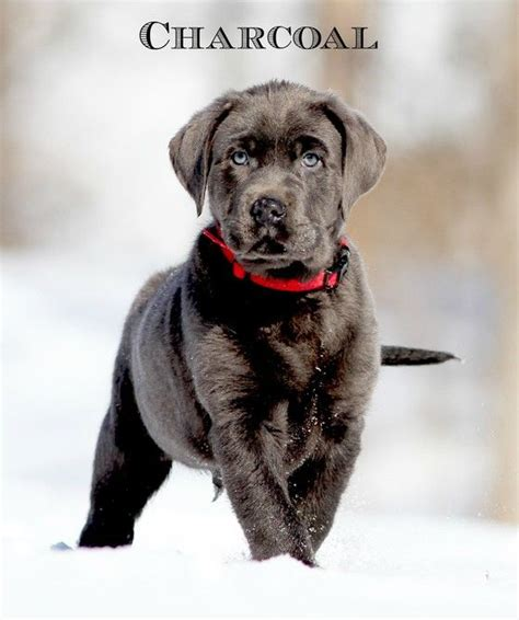 silver lab puppies for sale in tn silver labrador retrievers for sale silver lab puppies charcoal labs silver lab