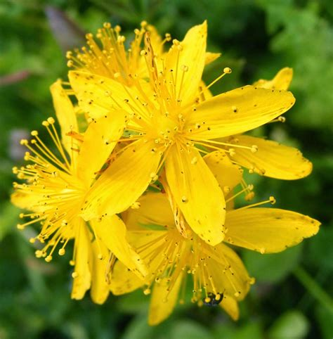 remedy fiori di bach the health benefits of agrimony