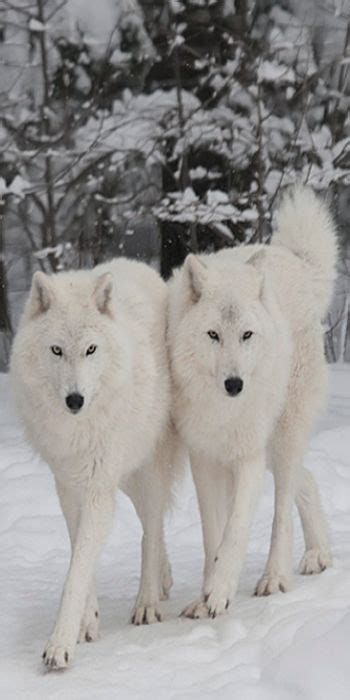 Seven White Wolves white wolf looking www pixshark images
