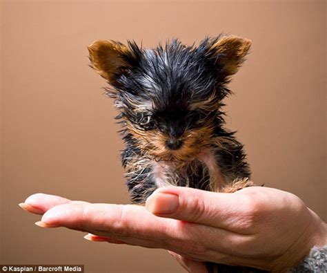smallest puppy meysi the world s smallest