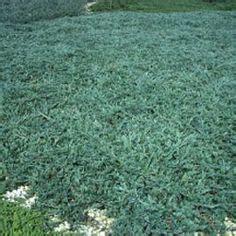 Blue Rug Juniper Spacing by Ophiopogon Japonicus Nana Mondo Grass Ps Shade