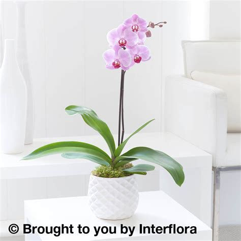 Orchid Delivery pink orchid plant florist online isle of wight flowers
