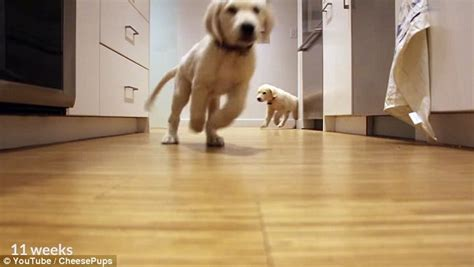what size bowl for golden retriever timelapse shows golden retriever puppies run for their dinner daily mail